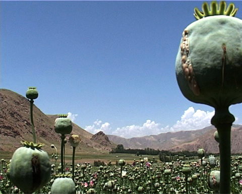 Afghanistan produces more opium, heroin and hashish than any other country in the world