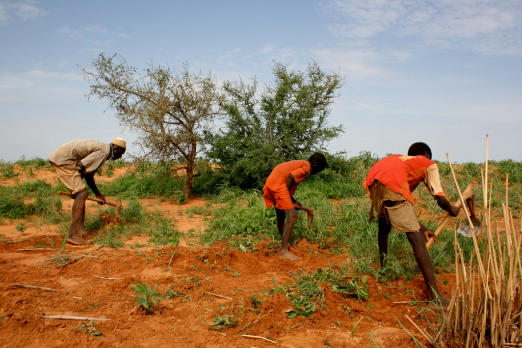 Chief of Bagga village, Idrissa Dayabou, tends to his field with his sons in Niger's central region of Tahoua