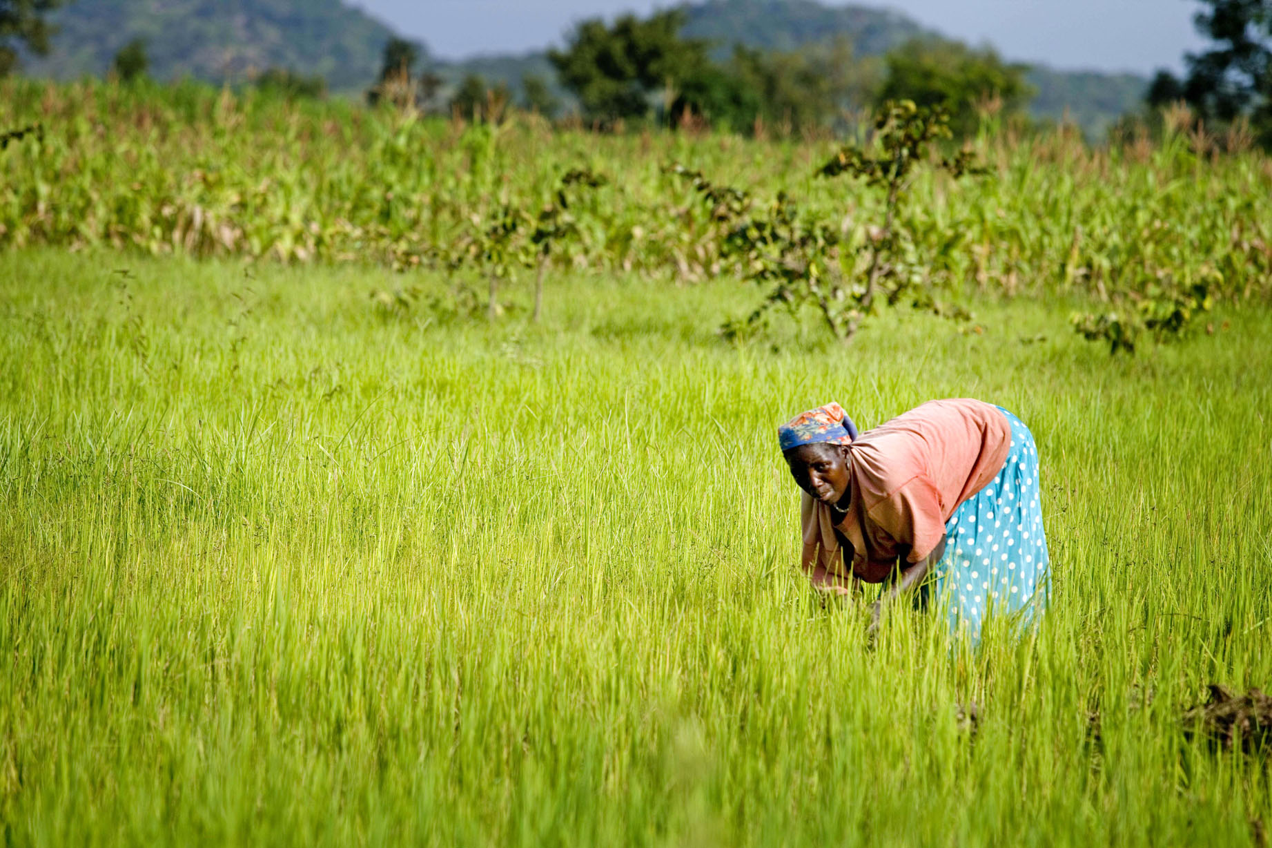 A woman farms rice on her farm in Ungwaku 1, Kajura District, in Kaduna State Nigeria
