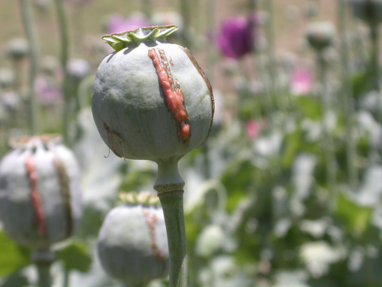 The poppy capsule which is harvested, Afghanistan, 2 August 2004. As soon as the capsule is lanced the heroin sap starts to emerge