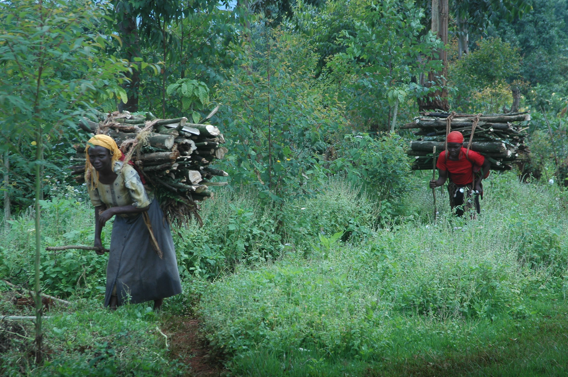 Women disembarking from Mt. Elgon national park with firewood. Cutting down of trees has led to massive deforestation of Mt. Elgon range in eastern Uganda