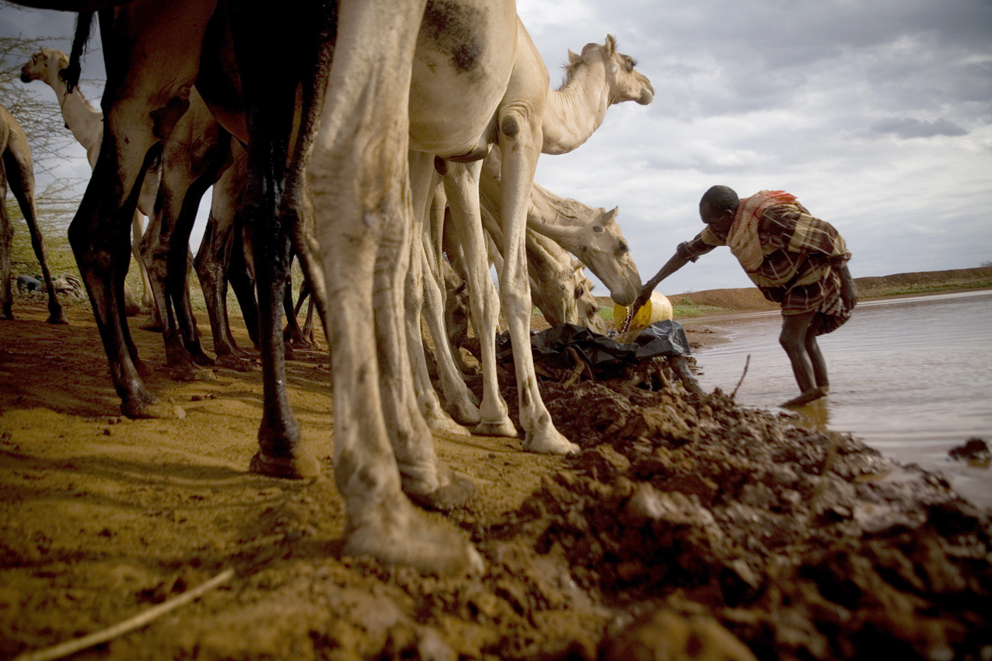 A herdsman tends to his camels near the border town of Moyale