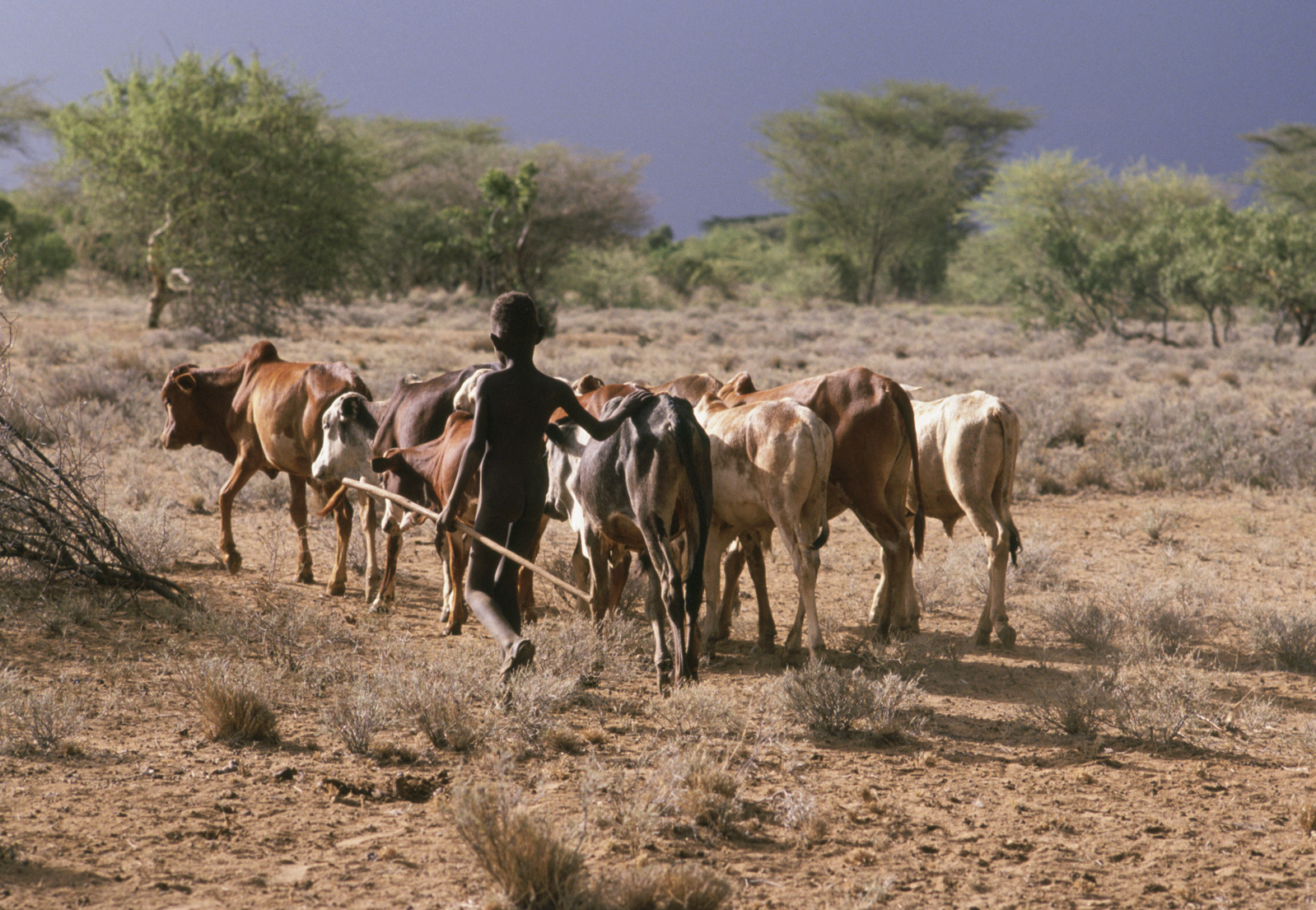 A Turkana boy herds his family's cows in Kenya