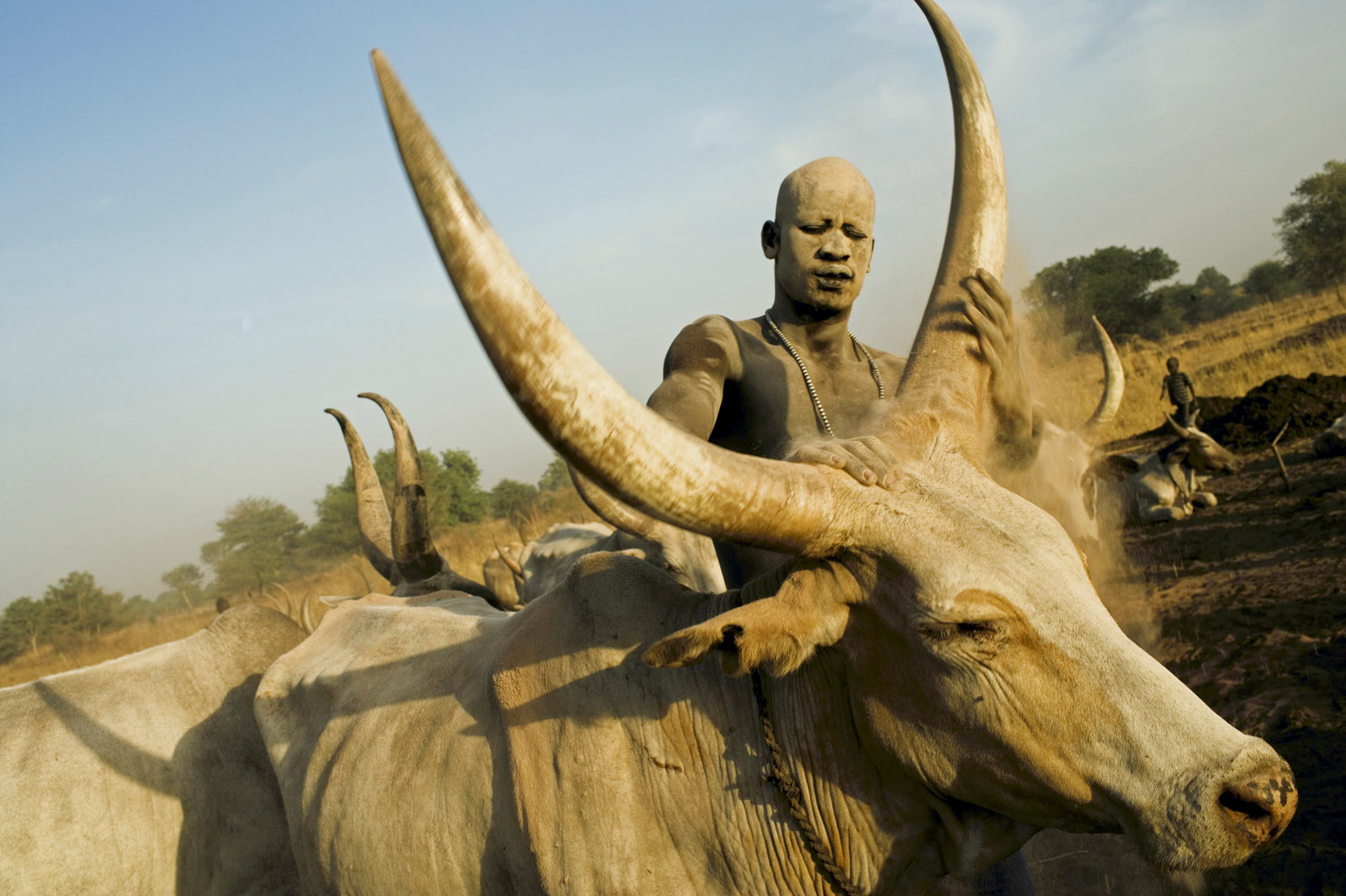 A Mandari Cattle herder rubs one of his cows with ash to protect its skin from the burning sun in Southern Sudan
