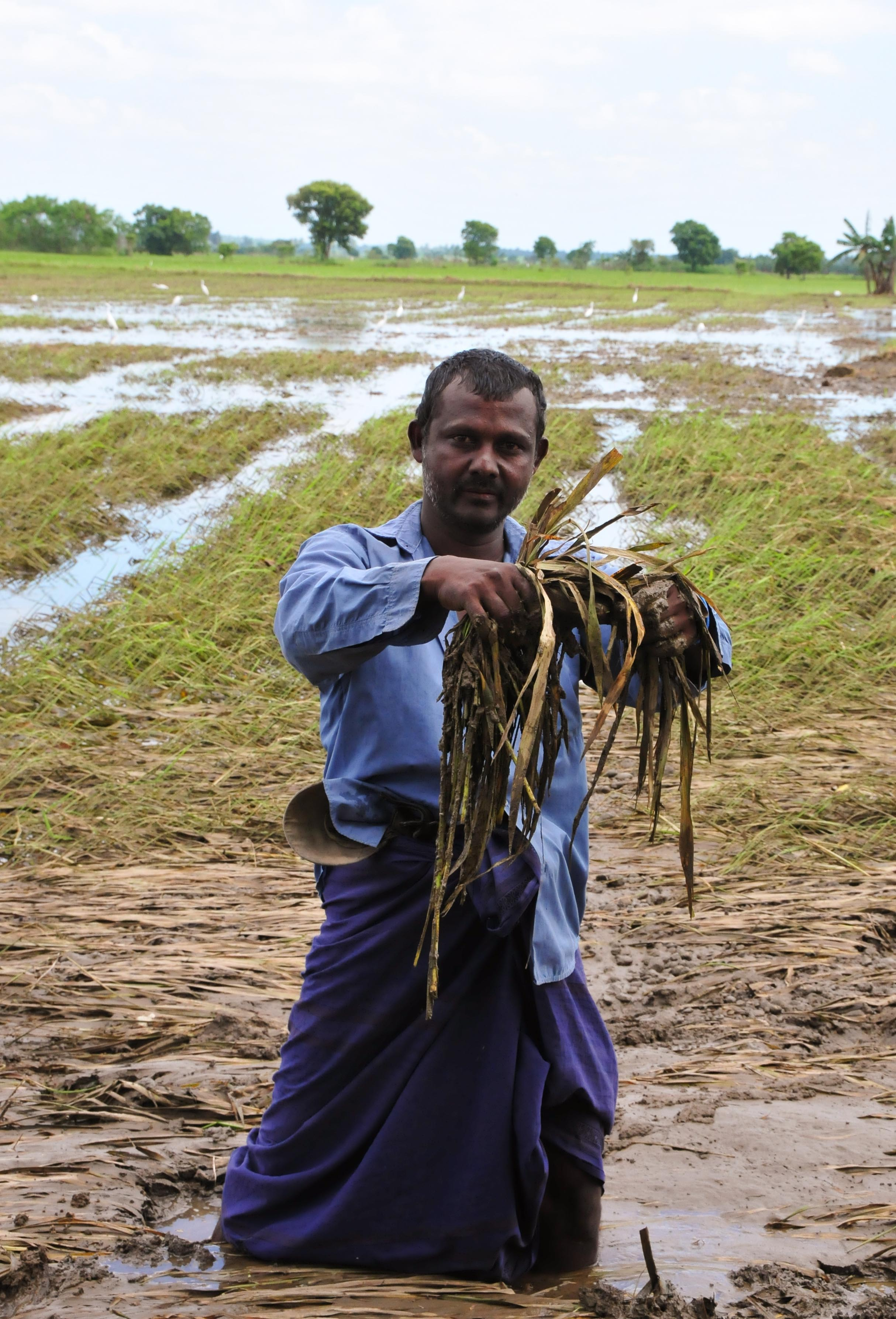 Heavy rains and flooding have badly affected paddy farmers in eastern Sri Lanka in January 2010. A farmer holds destroyed paddy plants in a field in Pansalgolla, a village in the eastern Polonnaruwa District