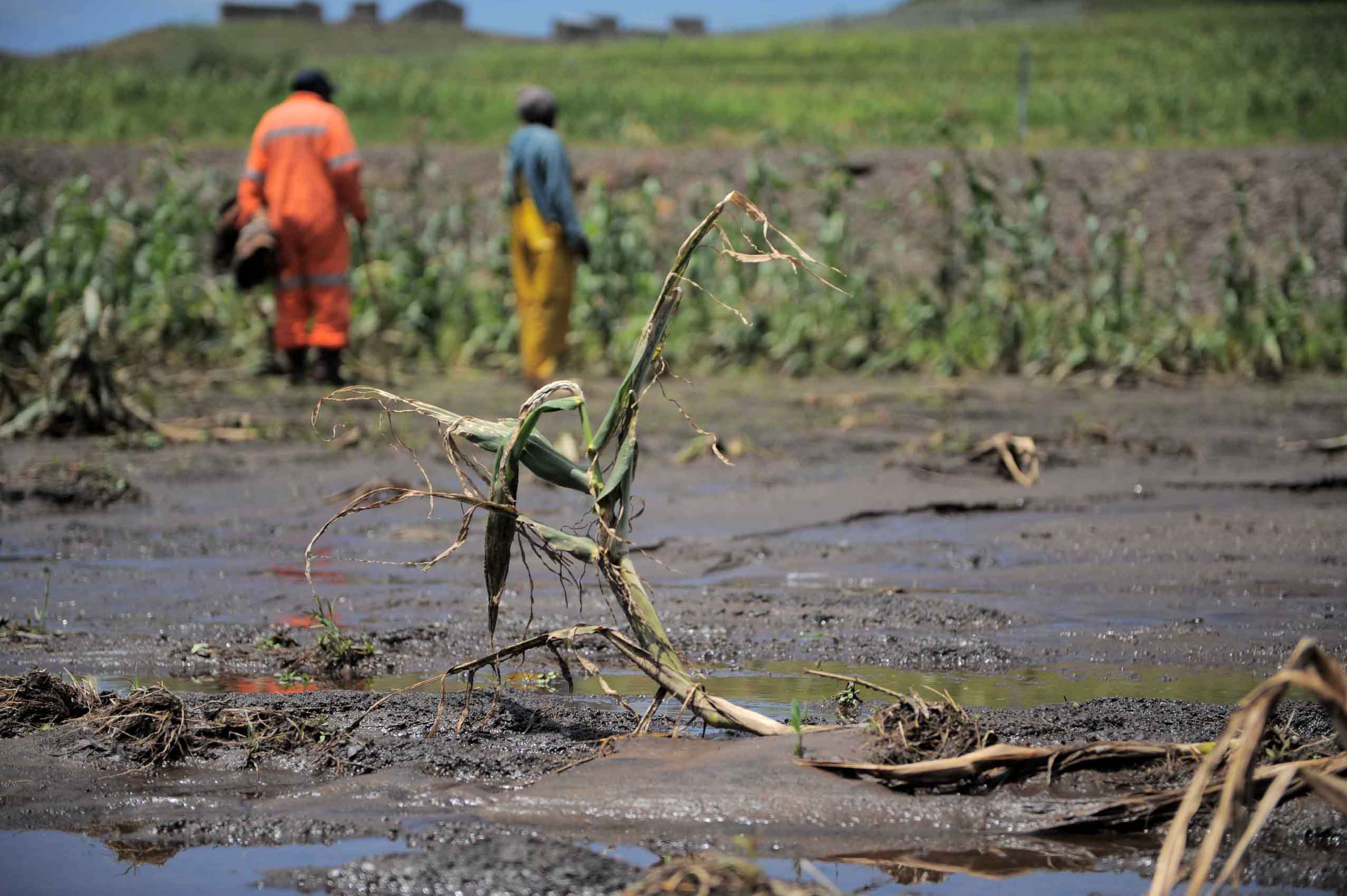 Recent flooding has left many maize fields in Lesotho's Thabo-Tseka District water-logged and weed-infested