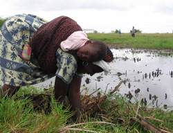 A woman plants a tree seedling during one of Green Earth Organization's tree planting exercises in the Songor Wetland, about an hour from Ghana's capital, Accra (For in-depth only http://www.irinnews.org/InDepthMain.aspx?InDepthId=13&ReportId=61033)