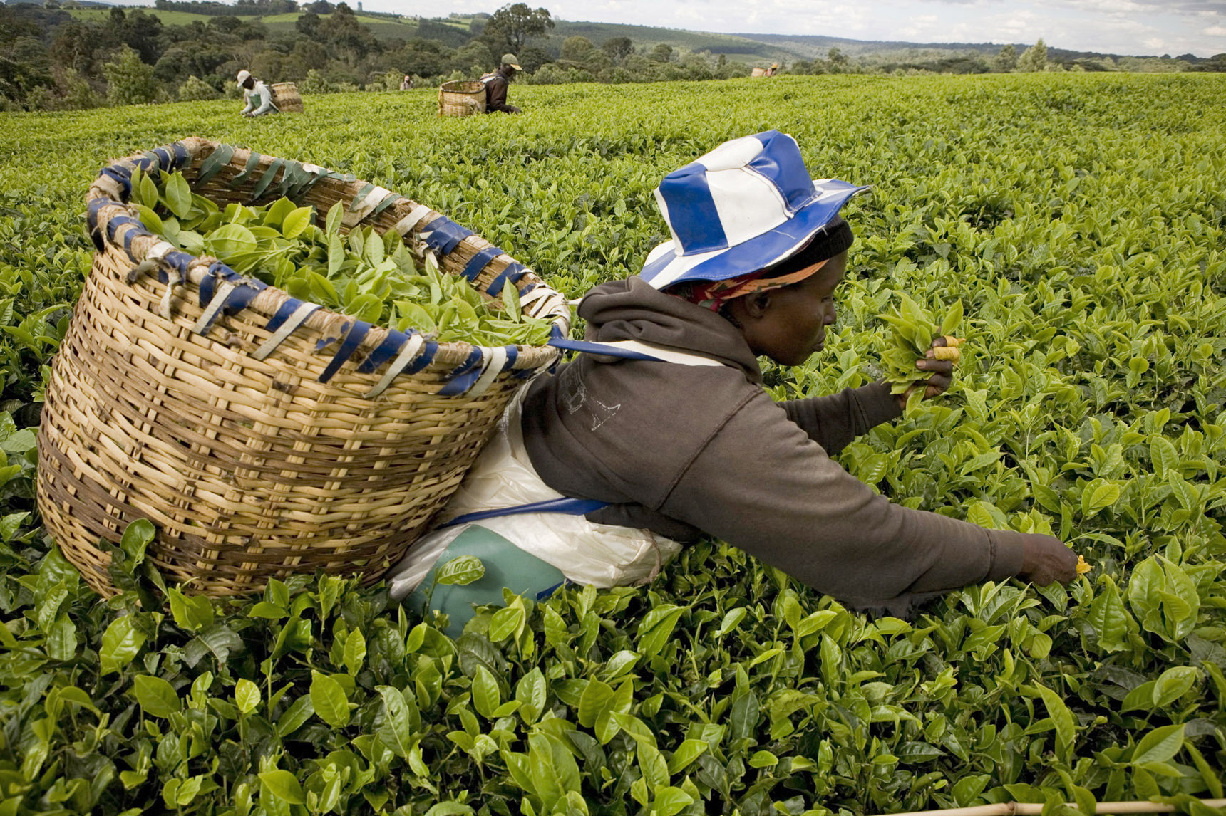 Pickers attend to a tea plantation in Kericho, Kenya. A study has recently revealed that African nations can break dependence on food imports and produce enough to feed a growing population within a decade
