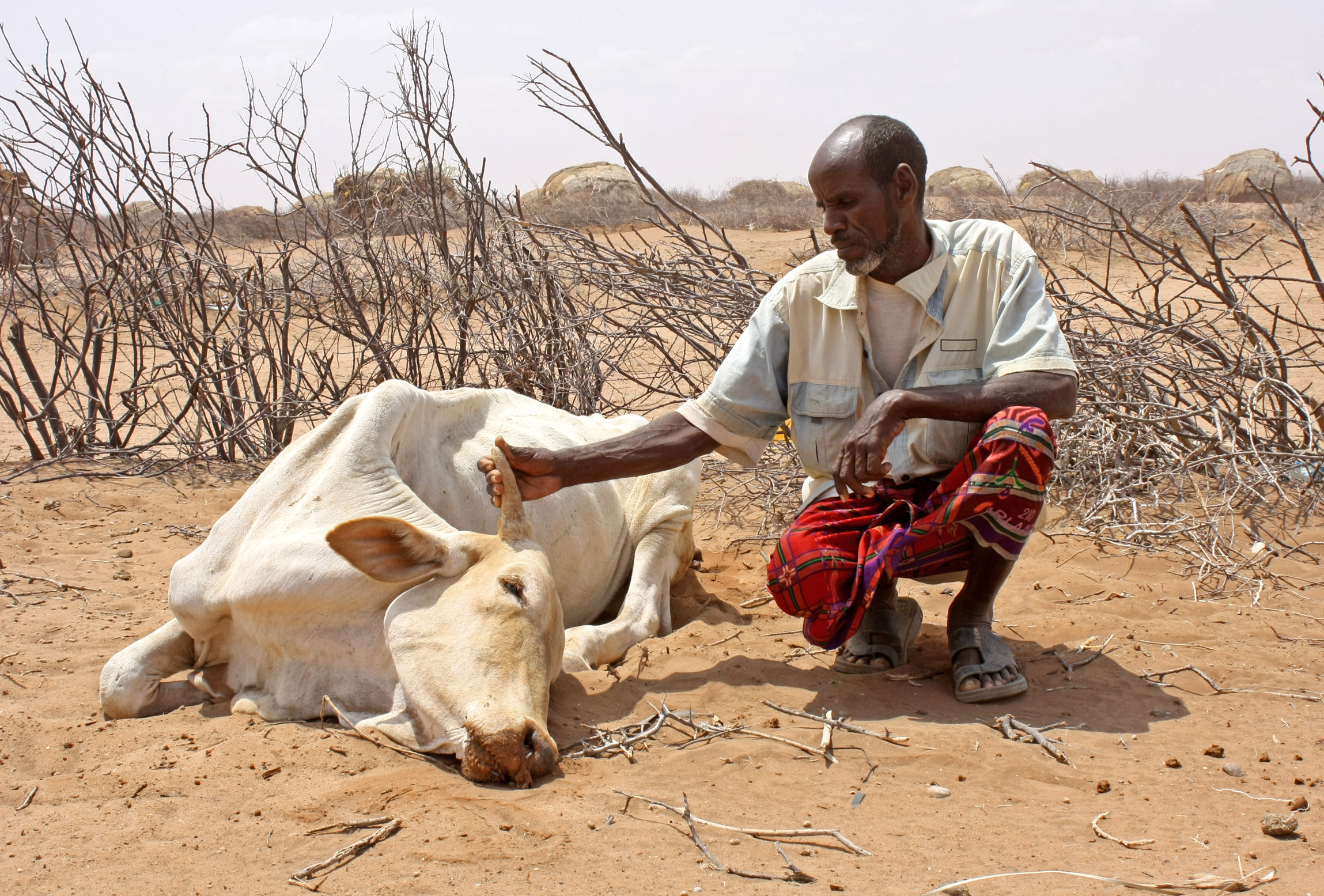 Abdille Muhamed with his dead cow in Garse Koftu village, 120km from Wajir in northeastern
