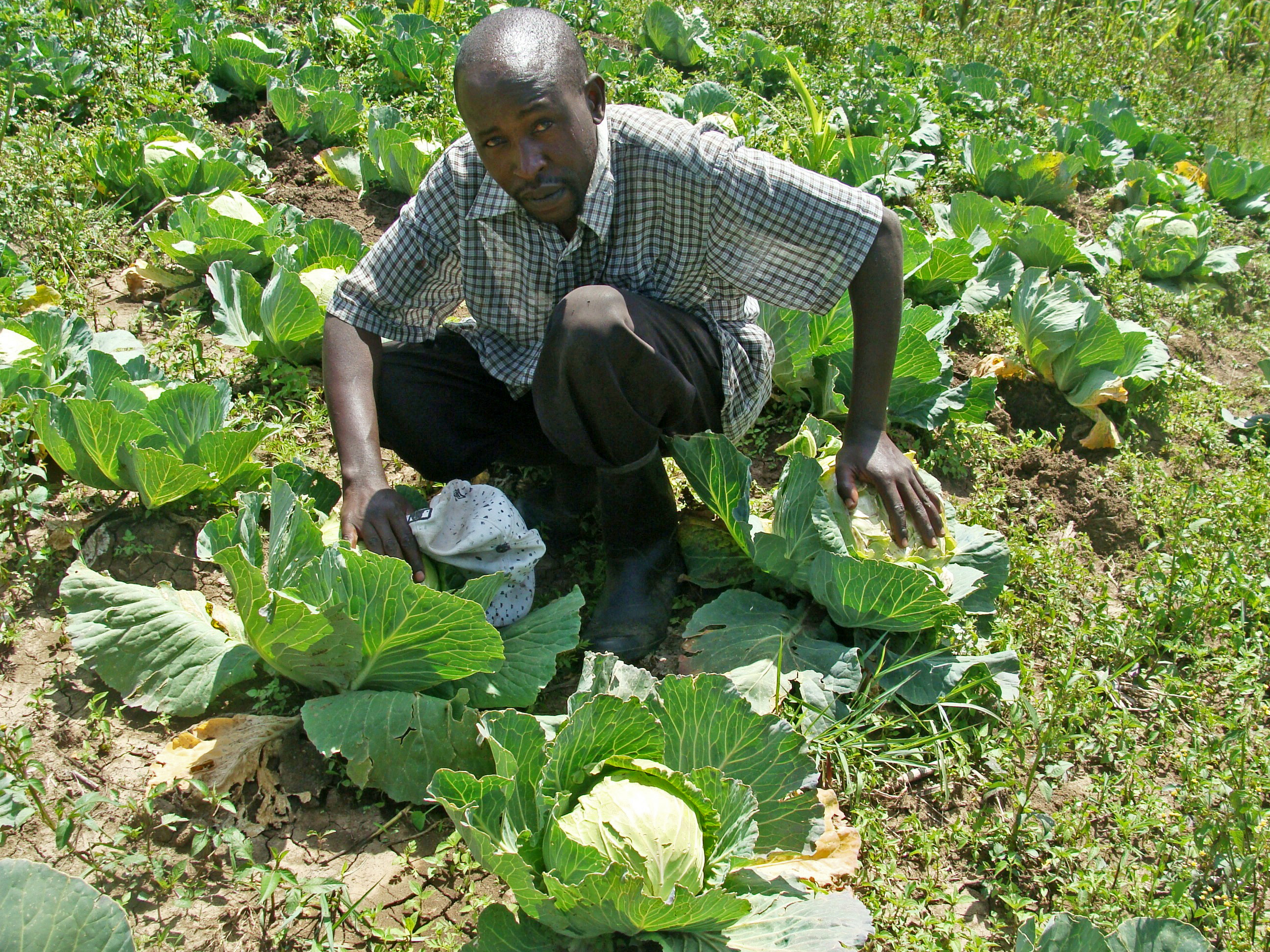 John Kariuki in his cabbage farm at Deffo, Njoro, Kenya