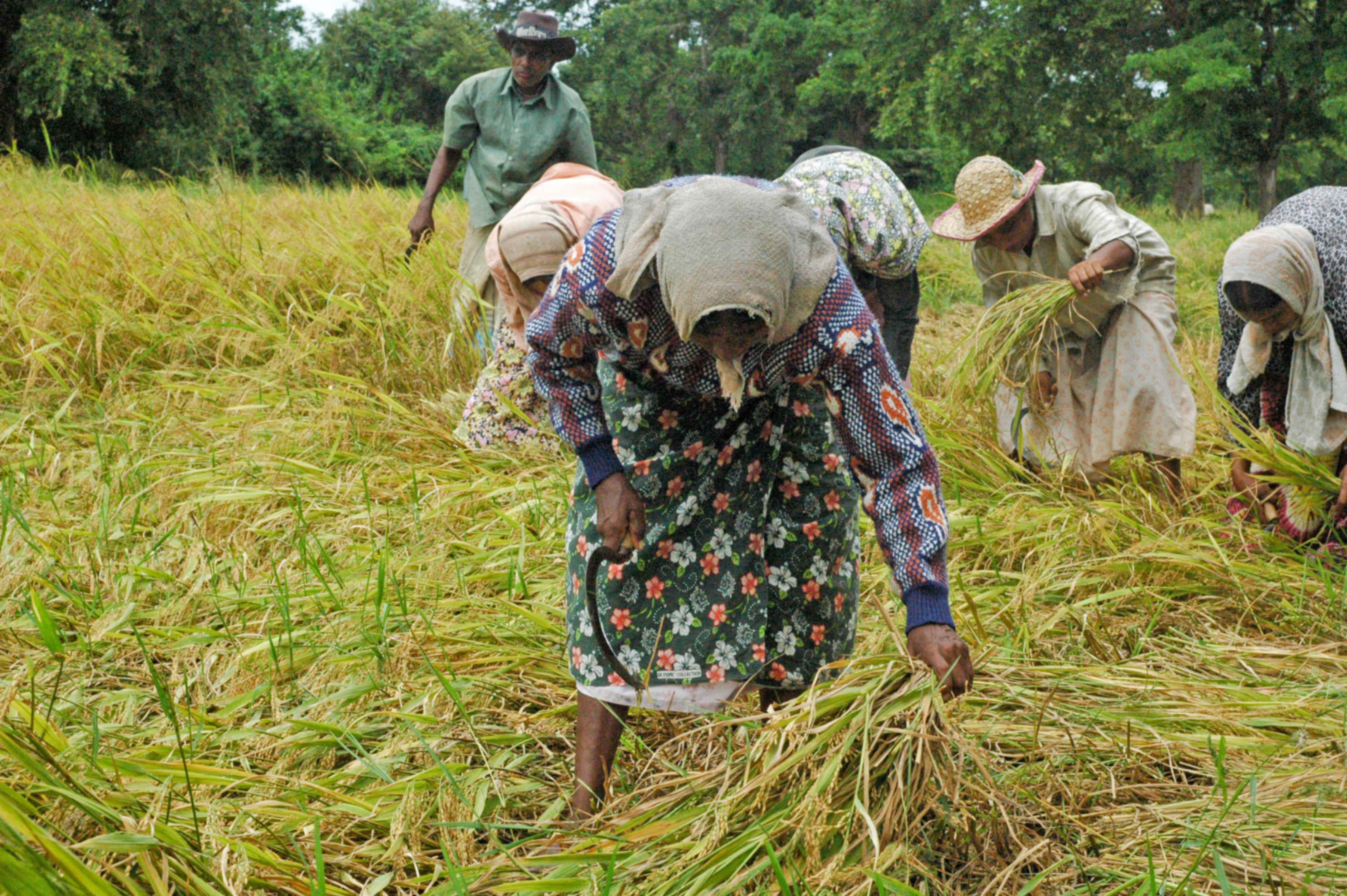 Women cutting paddy in Kurunegala District in Sri Lanka. The secondary paddy harvest this year is 15 per cent higher than 2010, an almost 40 per cent above the average recorded in the last five years