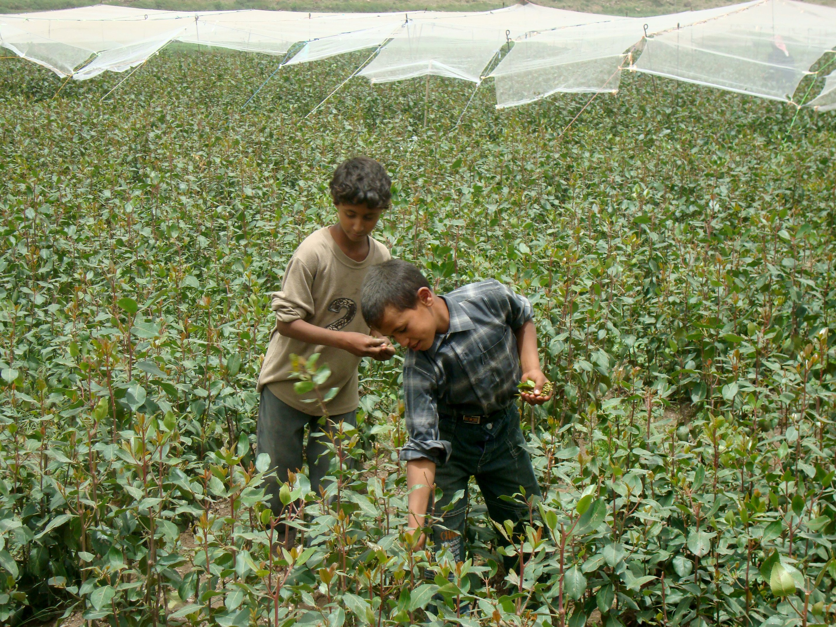 Child laborers harvesting qat leaves in Hajja governorate