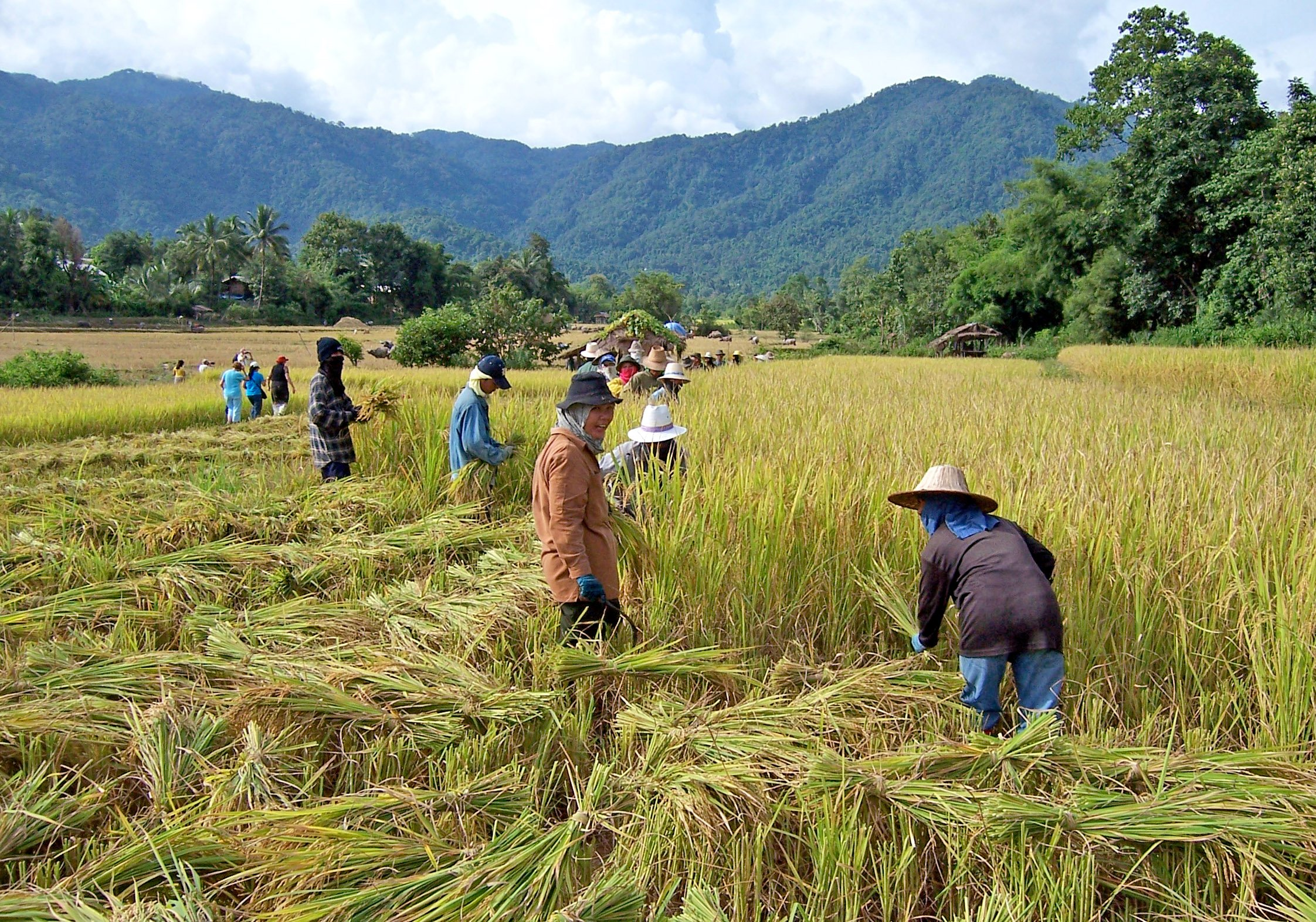 Harvesting rice in Thailand