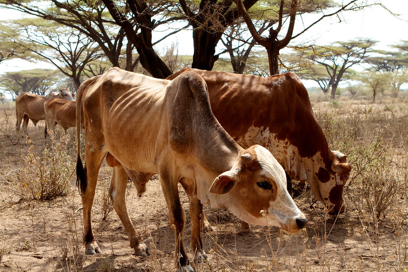A pastoralist await the sale of his drought affected cattle at an NGO supported destocking market near Isiolo, Eastern Province, Kenya
