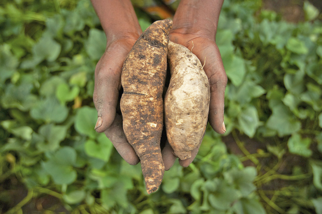 Maria Mtele holds orange-fleshed sweet potatoes harvested from her field in Tanzania