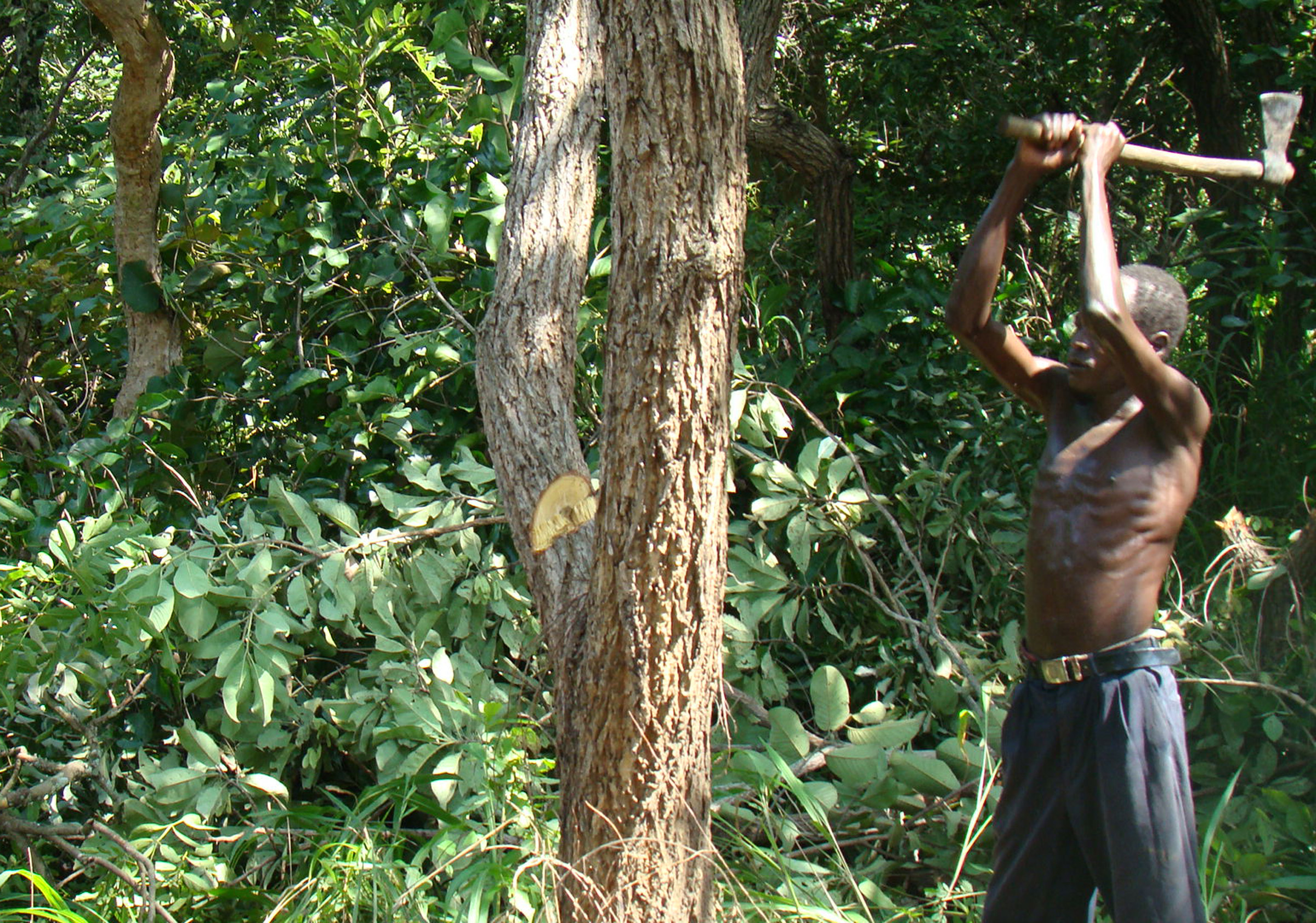 A man cutting down a tree for charcoal burning in Nwoya district. Indiscriminate forest cutting on the rise in northern Uganda
