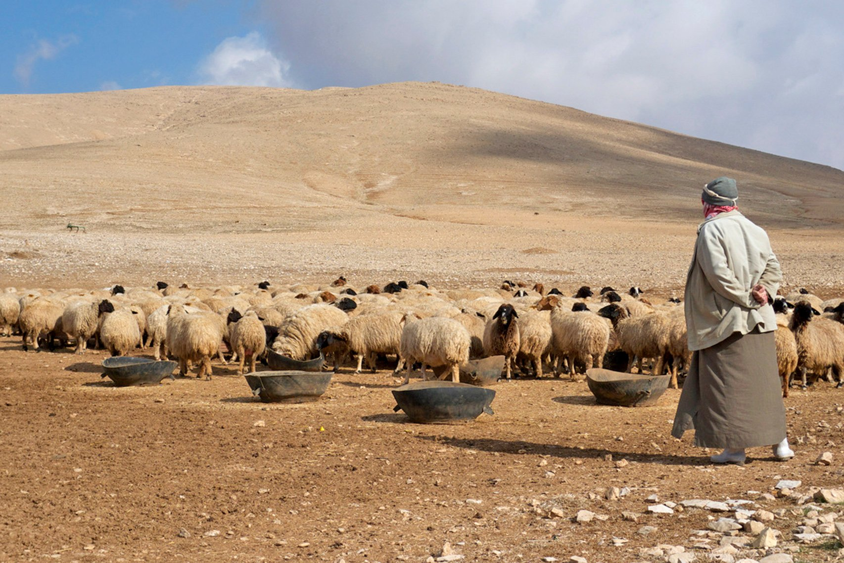 Syrian farmer with his flock of sheep