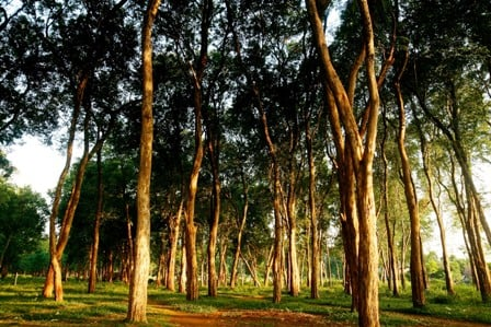 Teak forest landscape, Jepara, Central Java, Indonesia