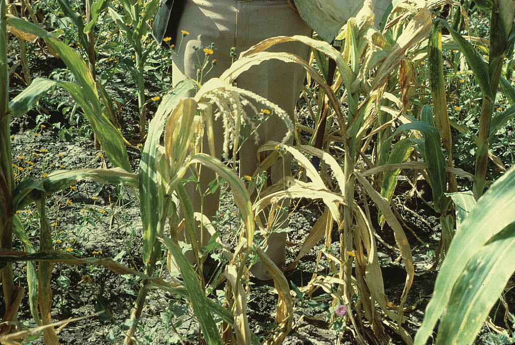 Maize Lethal Necrosis results from a combined infection by two viruses: maize chlorotic mottle virus (MCMV) and either maize dwarf mosaic virus (MDMV) or wheat streak mosaic virus (WSMV). The plant does not die if only MDMV and WSMV occur together. Infect