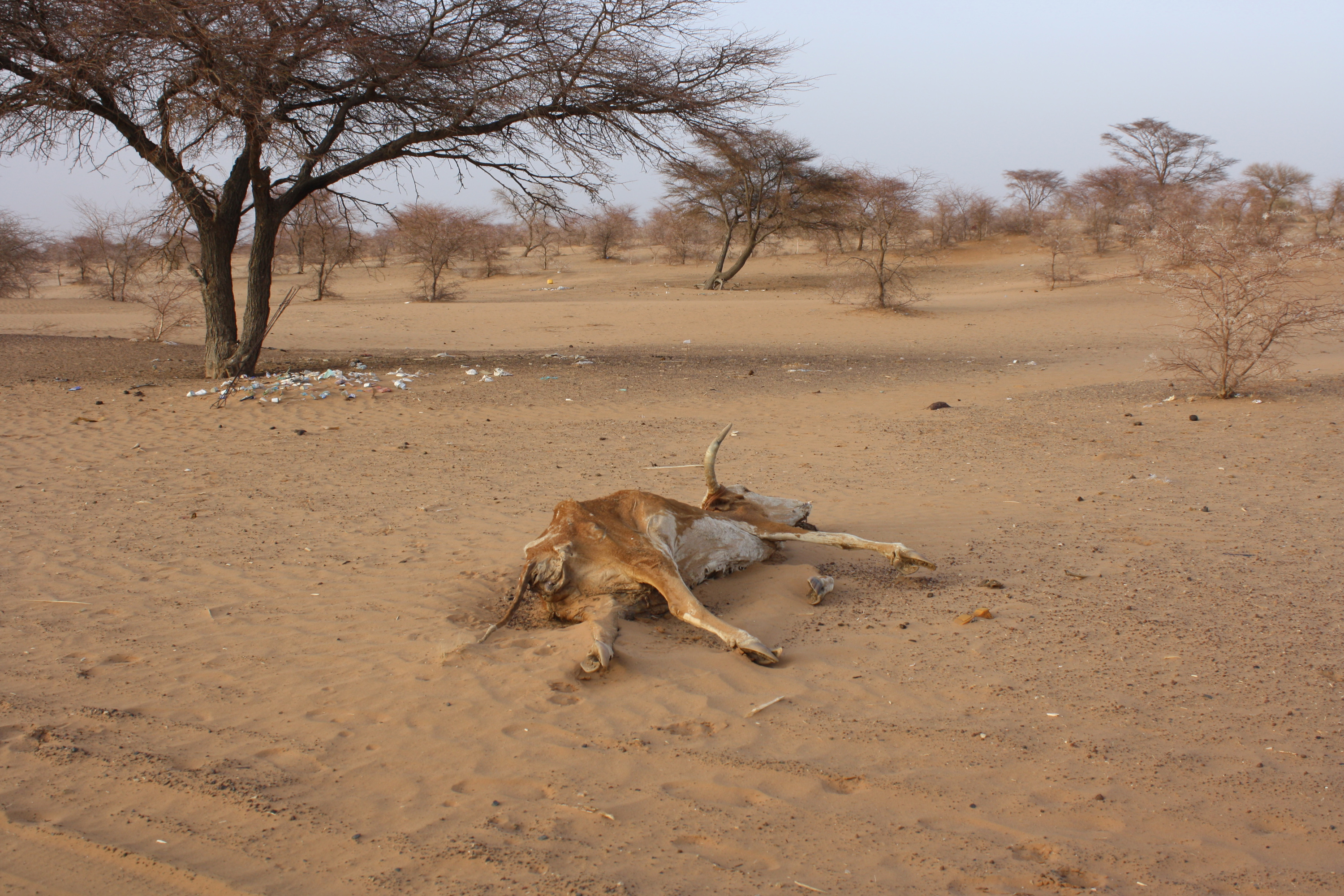Carcasses dot the sandy landscape in Mauritania's Hodh El Chargui region in the south