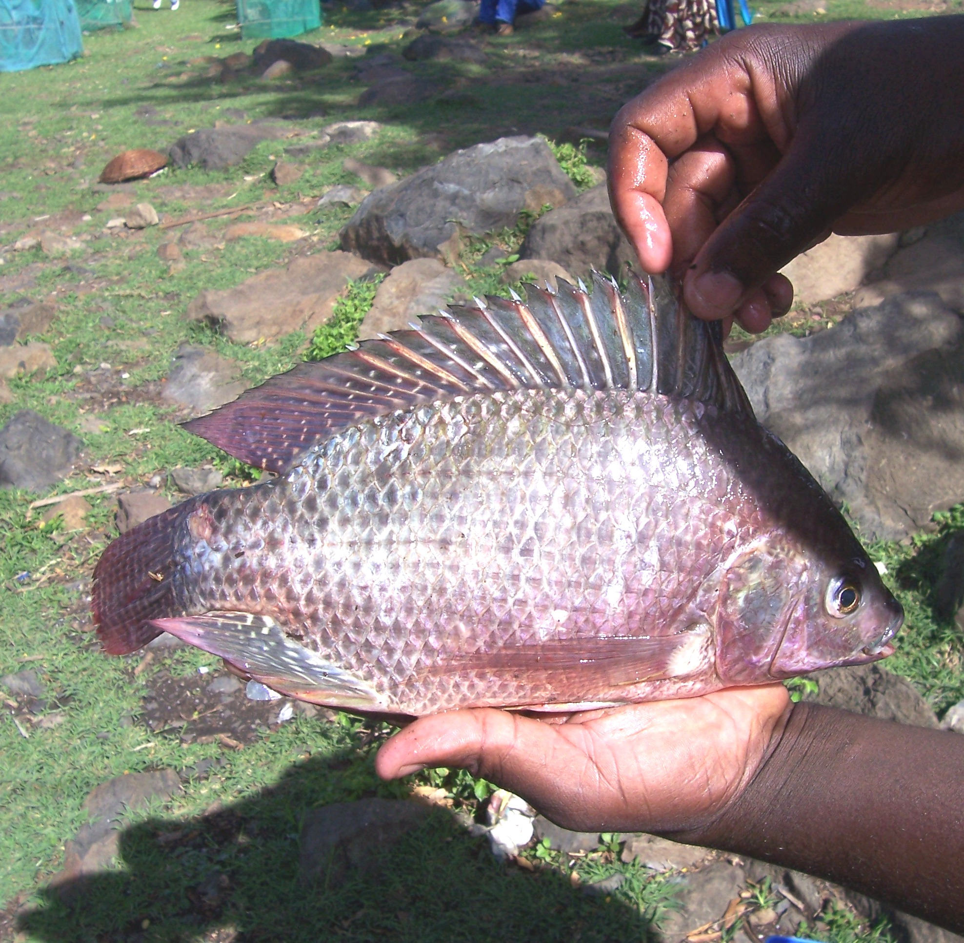 Many of Lake Victoria's popular fish species are disappearing amid increased pollution