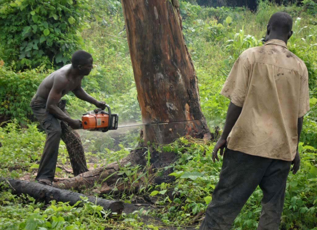 Unscrupulous loggers are cutting down forests indiscriminately in Uganda