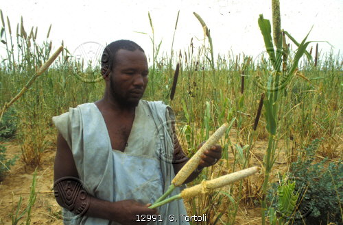 A farmer holds what is left of his millet crop that had been devoured by Senegalese grasshoppers. - - Grasshopper Control Campaign in the Sahel. The 1985 rains, breaking the worst drought in a decade in the Sahel, also caused an outbreak of the Senegalese