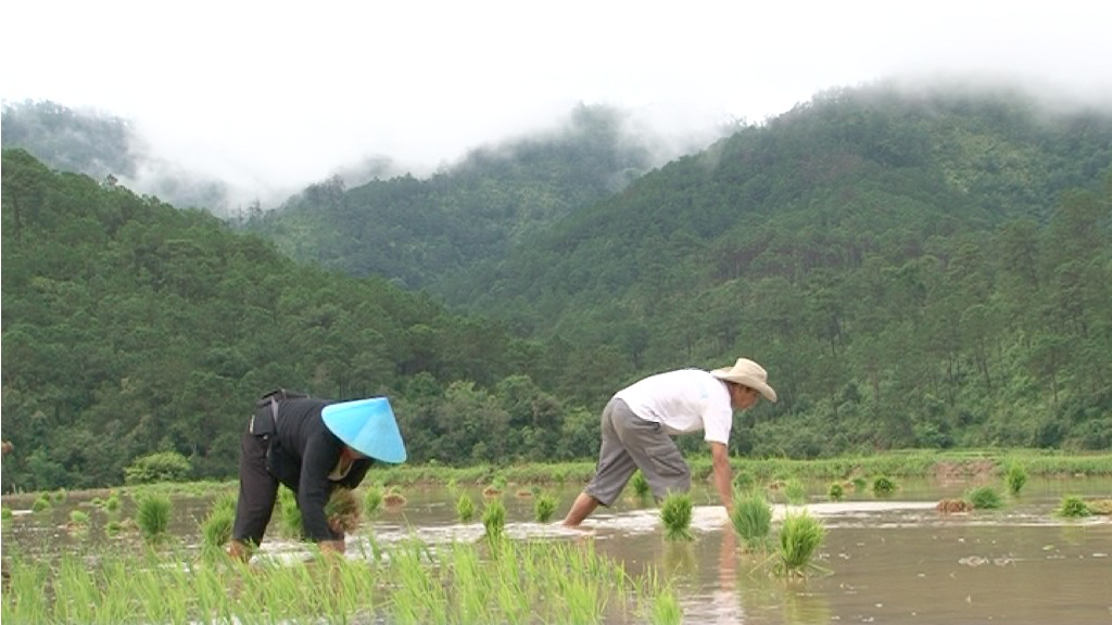 Some 95 percent of farmers in northern Laos cultivate rice, but are increasingly looking elsewhere as they are hit by increasingly erratic weather that has slashed their yields