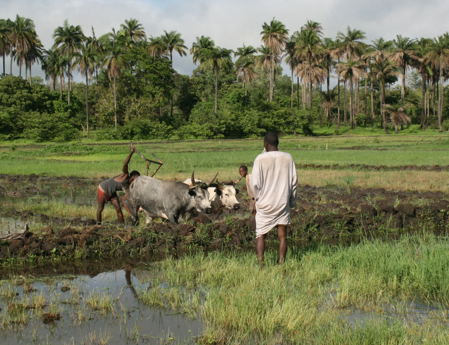 Rice farmers preparing a field in central Guinea-Bissau