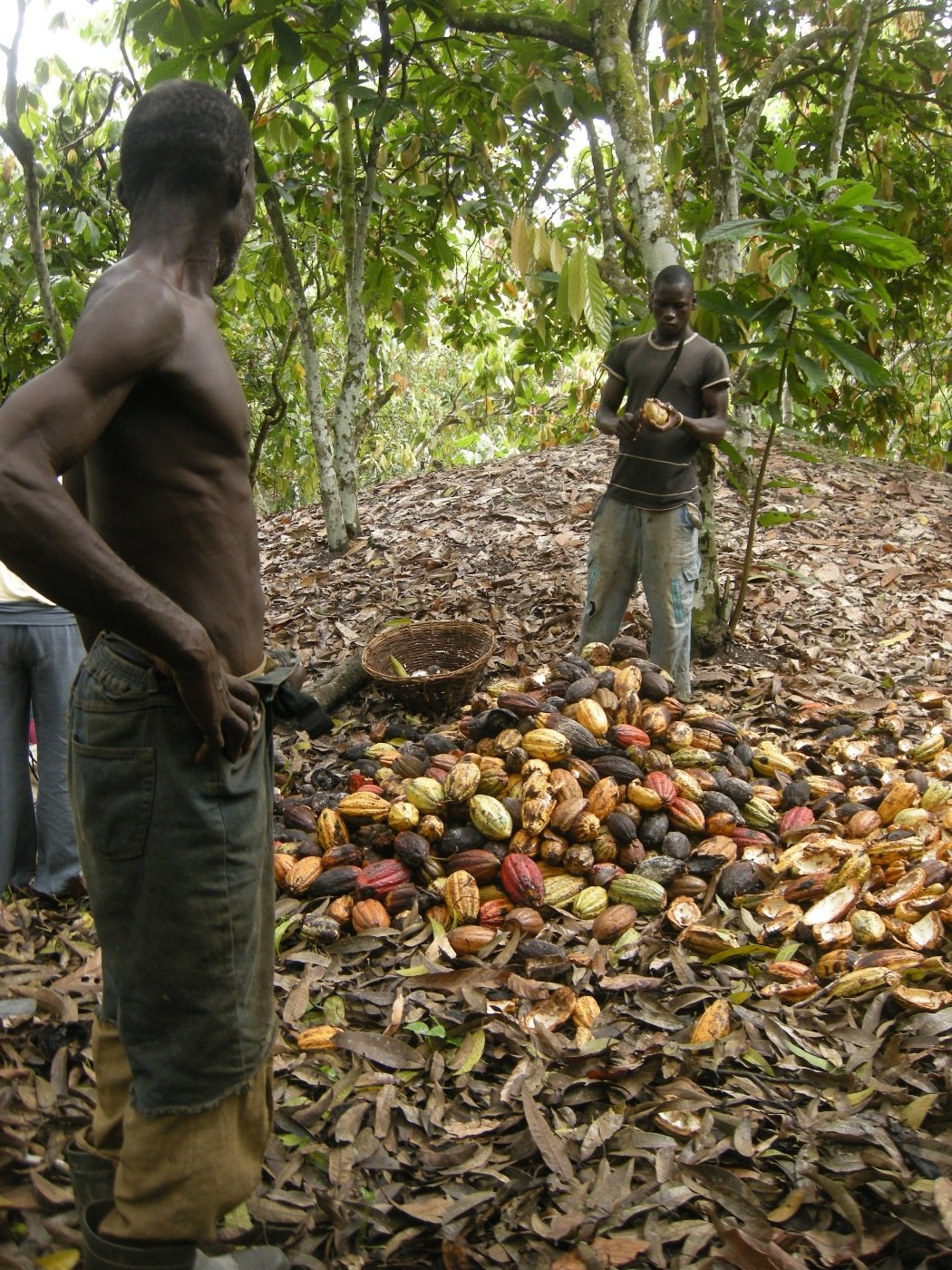 Cocoa farmers breaking their cocoa pods to dry them near Akoupe in eastern ivory Coast
