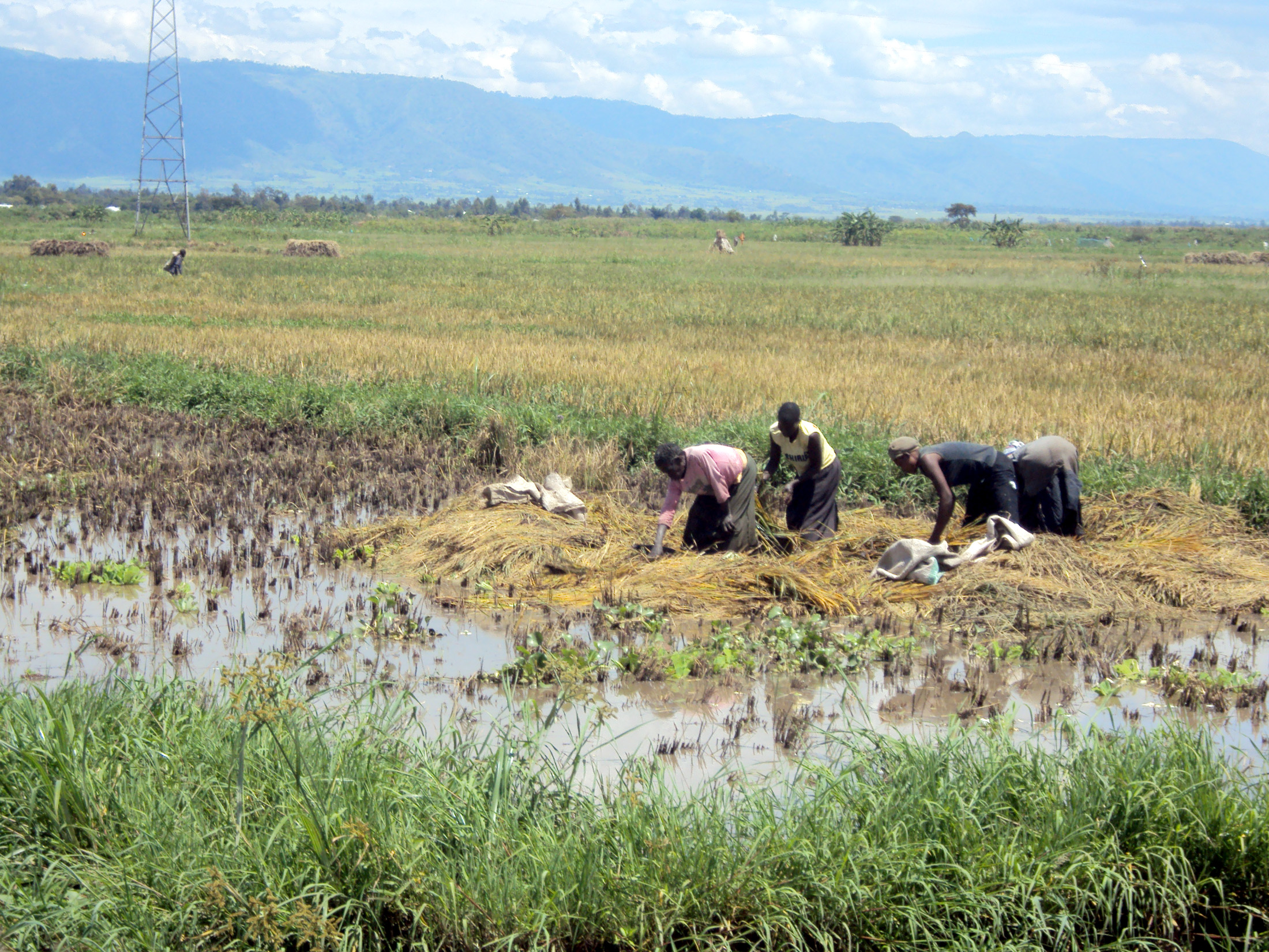 Floods in Kano plains have washed away farmers' rice harvests