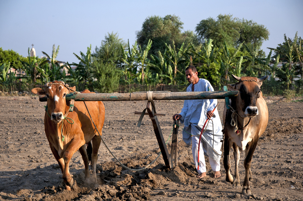 A man and his animals plowing his land in Qursaya Island, a very small rural island in the middle of the Nile in the area between Giza and Maadi, one of the biggest and the most urban suburbs in Cairo