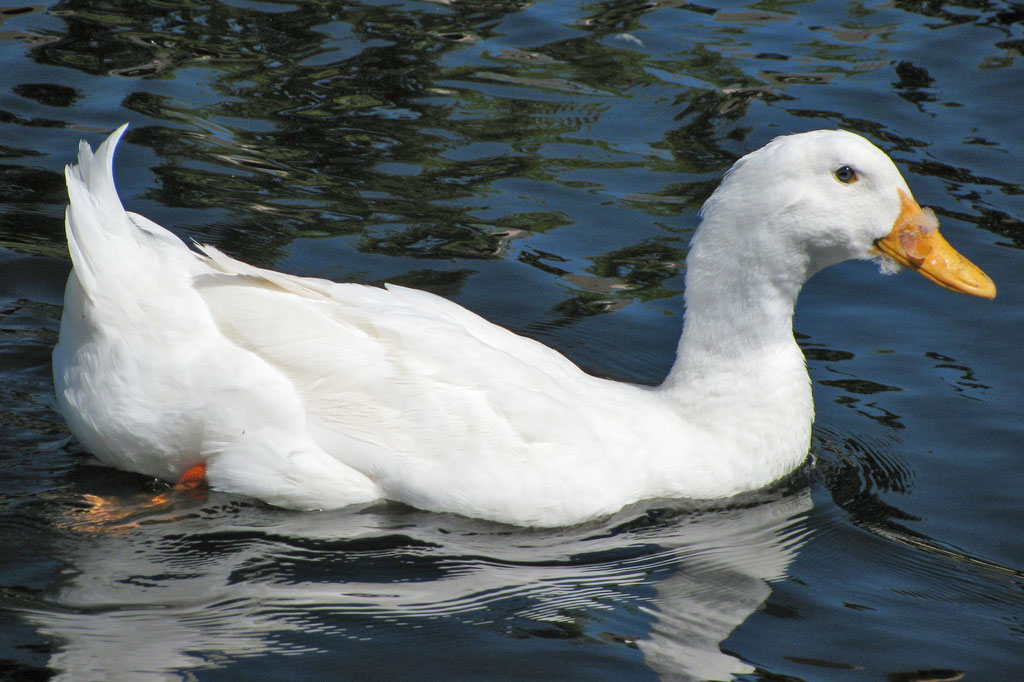 White Duck. For generic use