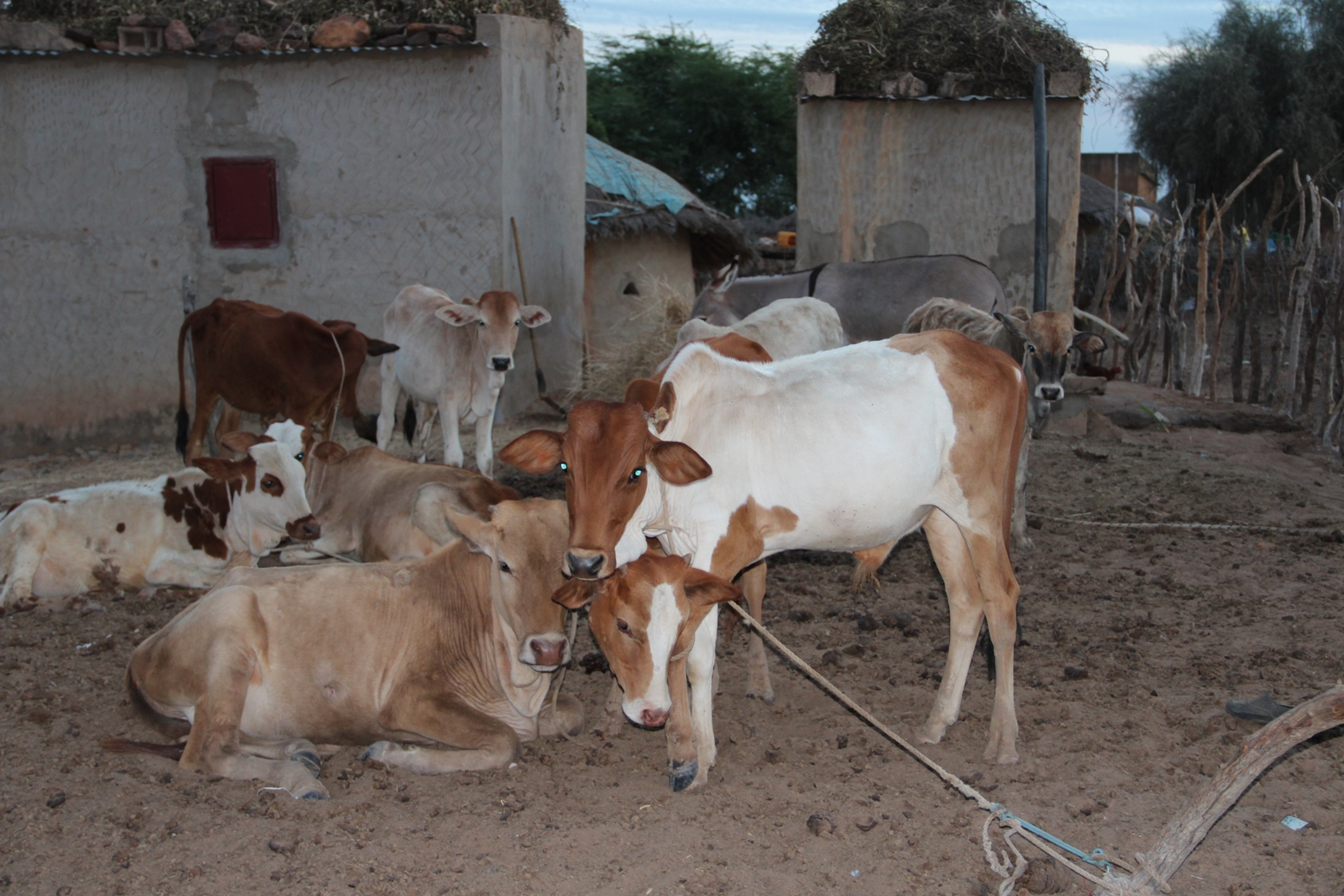 Seyinna Gababe, a village 18km from Kaédi, villagers received no aid in 2012. They lost a lot of their animals and many did not harvest at all. They survived by going into debt. These are the only livestock that remain