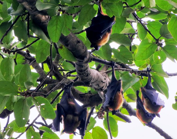 The large fruit bats, also known as flying foxes,  are the primary carrier of the Nipah Virus in Bangladesh