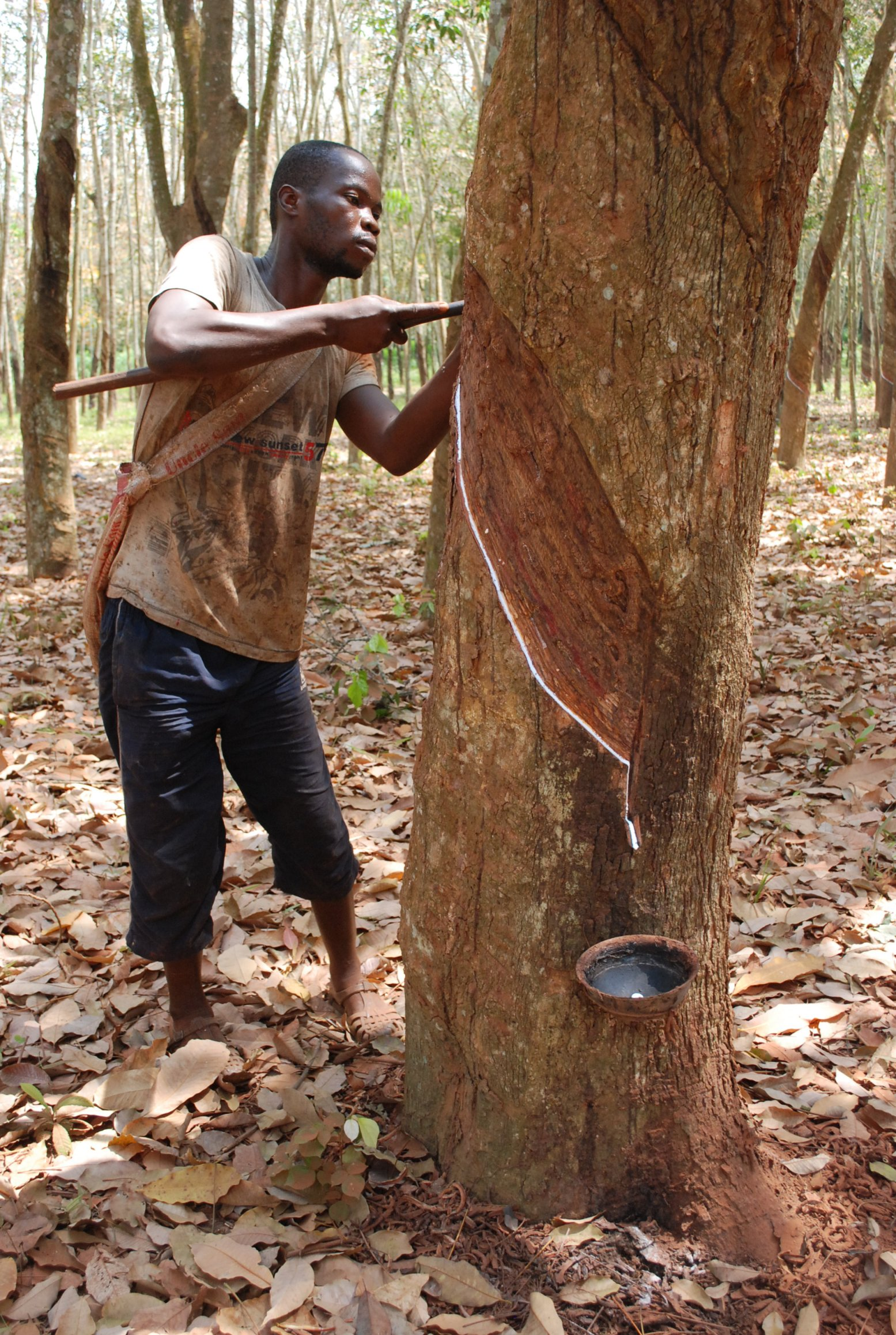 A man tapping rubber near Dabou