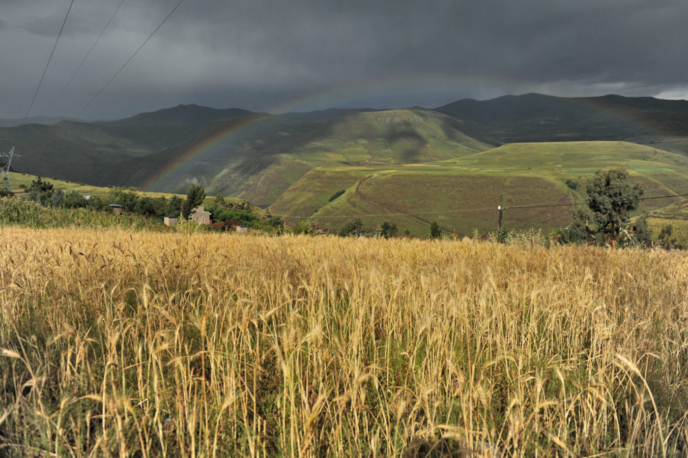 A wheat field in the Lesotho highlands near Ha Lajone