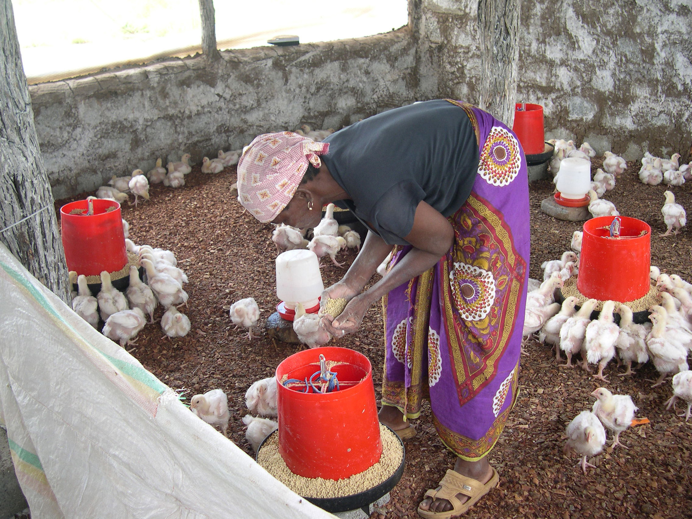 Luisa Antonio was among 5,000 people in Mozambique's northwestern Tete Province resettled by Brazilian mining company, Vale. The company has paid for the start-up costs of a poultry breeding business, but she will have to repay the money