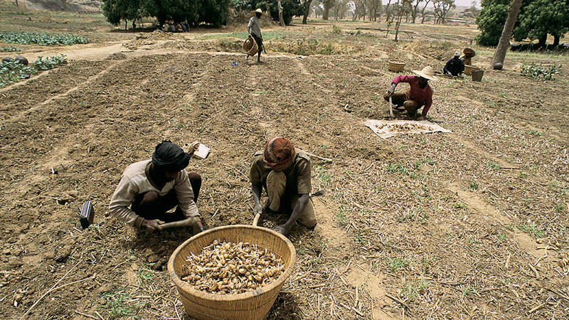 Harvesting crops. Mali. For generic use. Food security