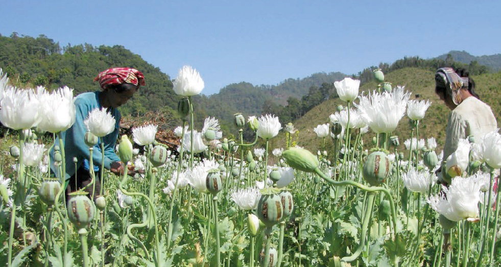 Poppy farmers tend to their crops in eastern Myanmar. The country is the world's second largest producer of illicit opium, after Afghanistan