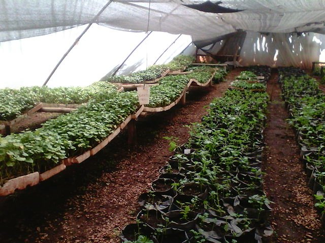 A nursery of tissue cultured sweet potatoes in a greenhouse