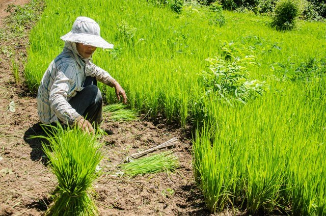Village food security depends on the rice harvest. Women picks rice seedlings to re-plant in Mokchong Khmu village, in northern Luang Prabang Province