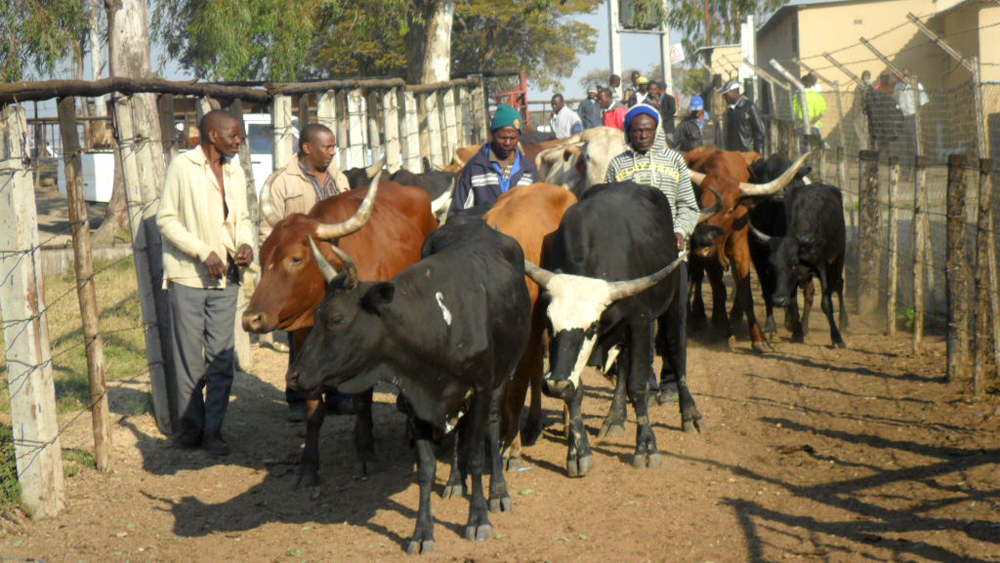 Smallholder farmers bring their cattle to an abbatoir in Harare, Zimbabwe's capital