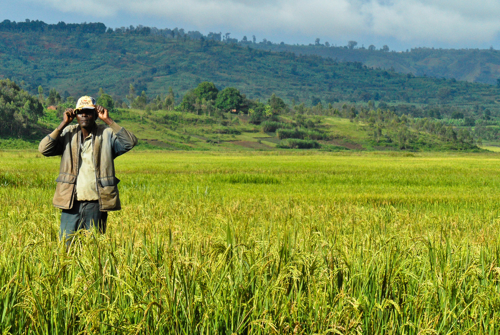 A farmer stands amidst a rice farm in Burundi, Africa