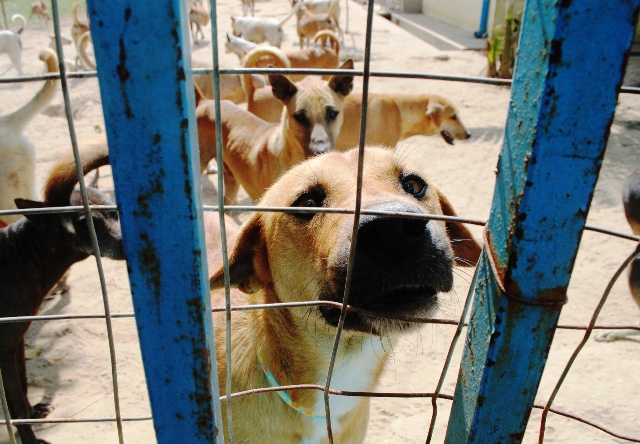 A stray dog looks to the camera at a shelter outside. Some 1,000 people die annually as a result of rabies in Myanmar, according to WHO