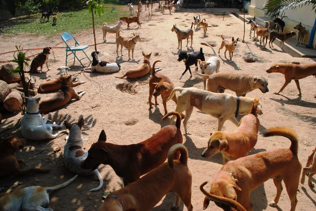 A scene at an animal shelter outside Yangon. Local media reports say there are thousands of stray dogs in the city, many of whom have rabies