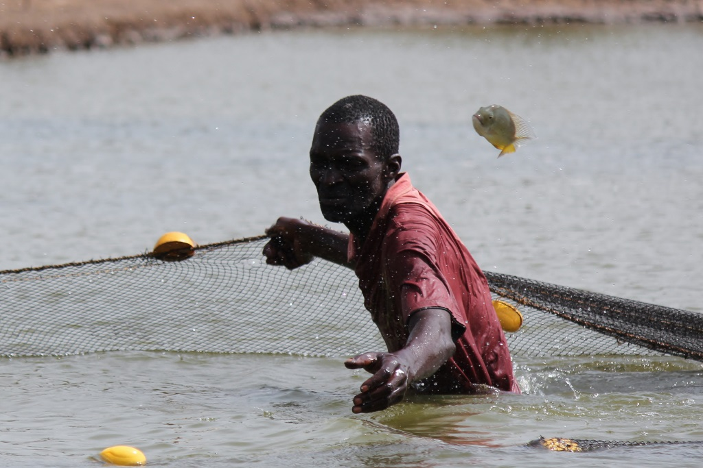 Fish farming in Senegal's southern Casamance Region. The legacy of a long-running conflict and poor harvests have caused serious food shortages in 2014