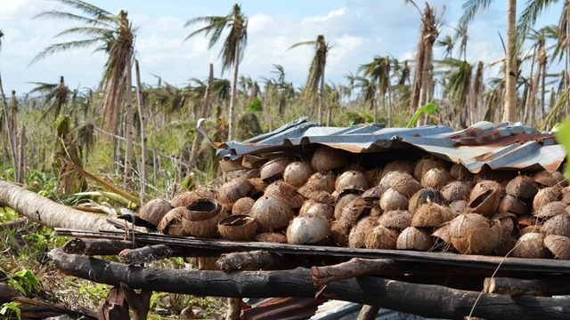 The Philippine coconut industry was badly affected by Typhoon Haiyan, which devastated large parts of the central Philippines on 8 November, 2013. The livelihoods of more than one million coconut farmers were shaken