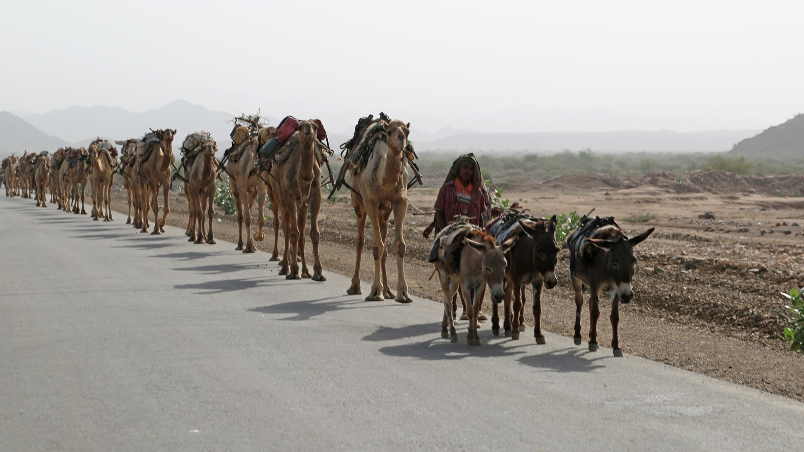 A caravan of camels in Afar carrying blocks of salt cut from the Danakil Depression area
