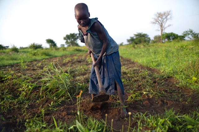 Akwero Nighty, 7, works in a cassava field in Uganda instead of going to school because her mother is home with an injured foot.